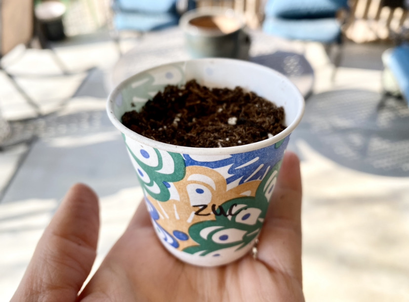 growing vegetable seeds in a dixie cup