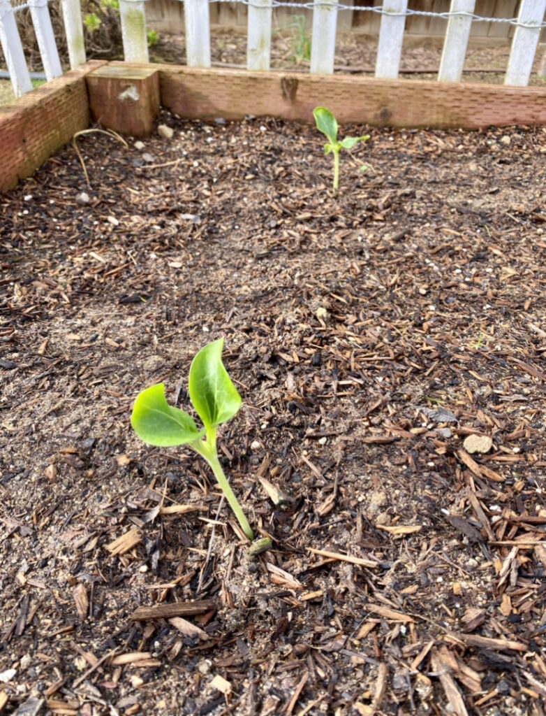 plant seedlings in garden