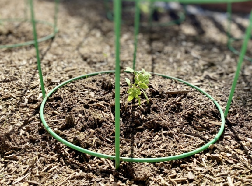 baby tomato plant